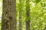 Mature poplar trees