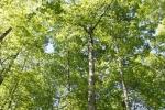 Grove of White Oaks