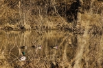 Woodies passing behind a banded drake mallard