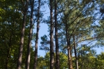 15 acre block of loblolly pine with some VA pine mixed in