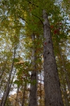 White oak grove along a riverside pasture