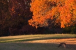 Whitetail doe feeding on acorns one autumn afternoon