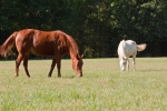 Horses grazing in one of 12 pastures
