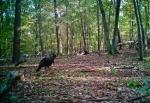 Impressive turkey population in this area