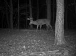 Another fully mature whitetail cruising the woods