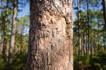 Evidence of a big bruin marking a pine next to one of the farm's core sanctuary areas