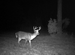 Maturing buck feeding in a oats & clover plot