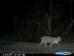 Huge bobcat on the prowl