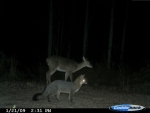Doe and fox pose perfectly for the trail cam