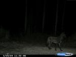 Rare black coyote