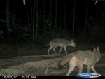 2 coyotes searching for food