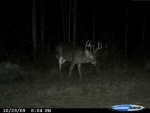 Mature whitetail making his way towards a food plot