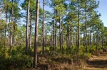 Well managed pine plantation on SE side of the farm