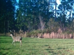 8 point buck cruising for does through a wildlife plot
