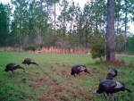 Excellent wild turkey population