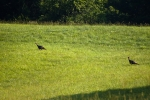 Pair of gobblers make their way across the pasture behind the house