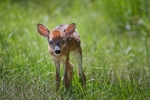 Early summer fawn buck approaches with curiosity while exploring the new world