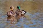 Mallard pair using the pond