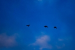 Canadian Geese with an early morning flight down the Dan