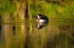 Male goose swims around while a female tends to her eggs on the pond's dam