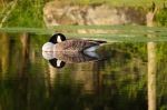 Goose relaxing on the pond as the day comes to a close