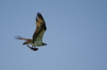 Osprey shows off his fresh catch