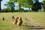 A few chickens out for a morning stroll