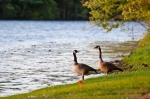 Pair of geese hanging out in the backyard