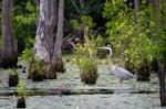 Great Blue Heron stalks his prey in the lake's headwaters