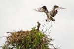 Osprey finishing up lunch