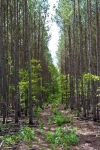 Pine plantations recently thinned for hunting and to accelerate tree growth