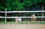 Mama doe and her fawn grazing beside the dressage ring