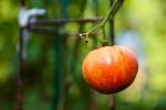 Delicious vine ripe tomato from the garden