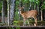 Whitetail buck in velvet makes himself at home alongside the driveway