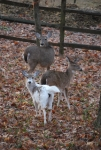 Rare albino deer with friends