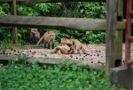 Playtime in the dressage ring for a fox family