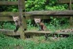 Two precious fox pups