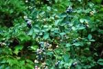 Highly productive blueberry bushes