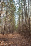 Section of trail lined with intermediate pine
