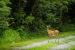 Doe crosses the driveway while following her fawns