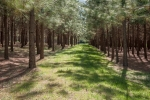 Pine plantations were planted in 2001