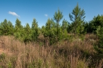 90 acres of loblolly pines planted in 2012