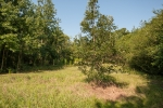 Sawtooth oaks have been planted in the food plot
