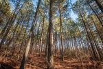 9acre stand of mature loblolly pines