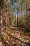 Trail meandering through a planted pine plantation