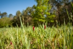Crimson Clover and Oats in the food plot- Spring 2018