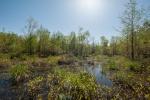 Flooded Cypress- Spring 2018