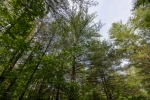 Some mature pines
