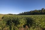 30 acre bean field alongside Dutchman Creek